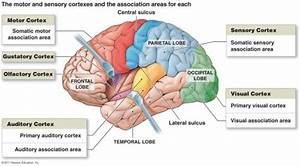 Arbit Scratchpad  Topographic Maps In Neuroanatomy