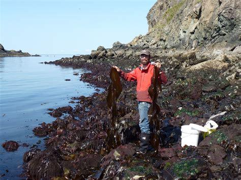 wild harvests kelp   seaweed snacks