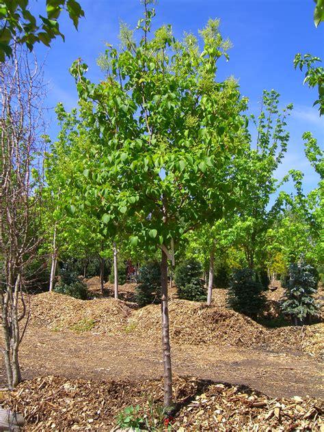 lilac tree ivory silk japanese creekside tree nursery
