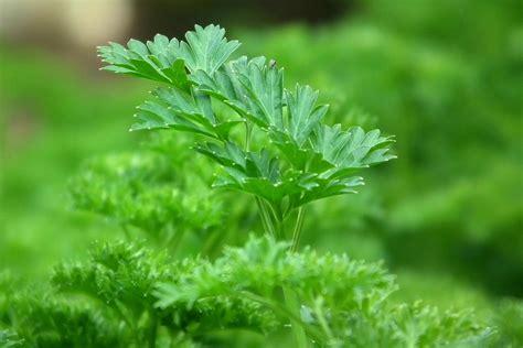 plante cuisine plantes aromatiques du goût et des vertus