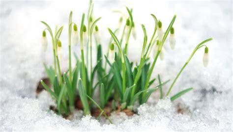 Pavasara vēstneses sniegpulkstenītes - kā tās pārstādīt - DELFI