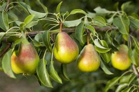 The Age Of The Pear