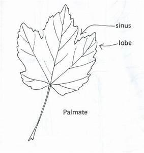 Pinnate Venation Leaf