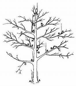 Comment Tailler Un Pommier : taille des arbres fruitiers wikip dia ~ Dode.kayakingforconservation.com Idées de Décoration