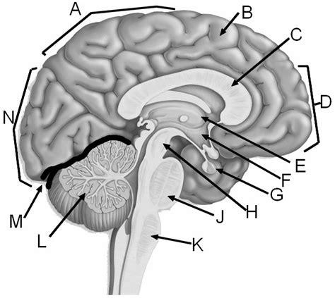 Label Brain Diagram by Atlas Axis Unlabeled Anatomy Corner