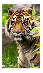 Tiger With Background Of Rock 4K 5K HD Animals Wallpapers ...