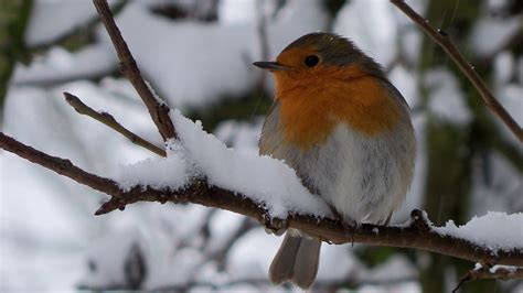cute little winter bird widescreen wallpaper