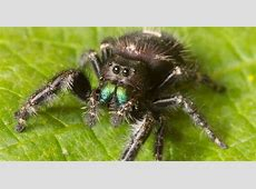 #bioPGH Blog Leaping for Jumping Spiders! Phipps