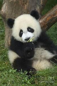 Baby Giant Panda (Ailuropoda melanoleuca) eats bamboo at ...