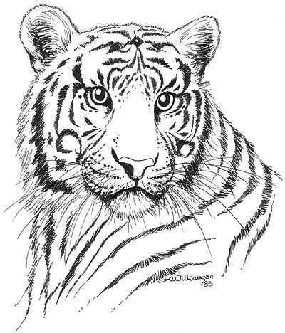 tiger drawing tiger ink sketch kerri bennett