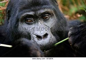 Gorilla Eating Stock Photos & Gorilla Eating Stock Images ...