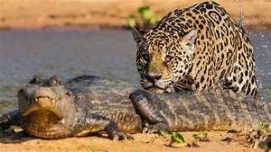 Un jaguar attaque un caïman ! - ZAPPING SAUVAGE - YouTube  Jaguar