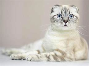 scottish fold cat scottish folds of calgary scottish fold