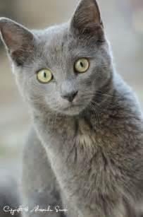 Grey Russian Blue Cat