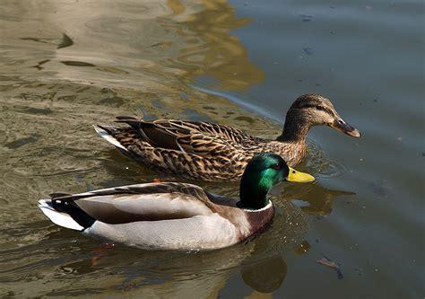 mallard duck mallard duck the farm at walnut creek in amish country