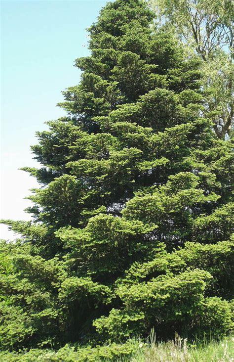 Baltegle korejas /Abies koreana/ - Skuju koki, krūmi ...