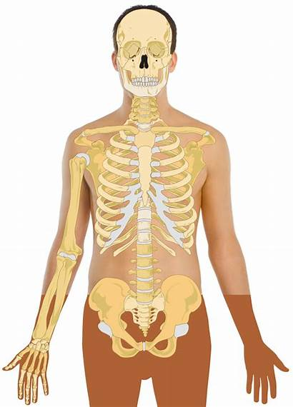 Human Skeleton Svg Template Commons Anatomy Wikimedia
