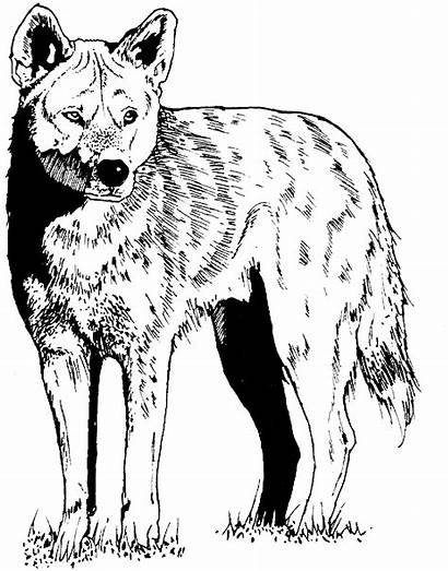 Coyote Coloring Wolf Pages Wildlife Printable Coyotes