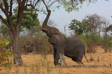 elephant cuisine file elephant loxodonta africana reaching up 3