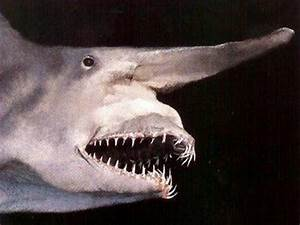 Goblin Shark Caught by Florida Fisherman · Guardian ...