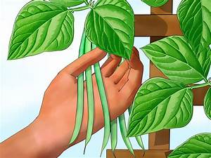 How to Grow Green Beans (with Pictures) - wikiHow