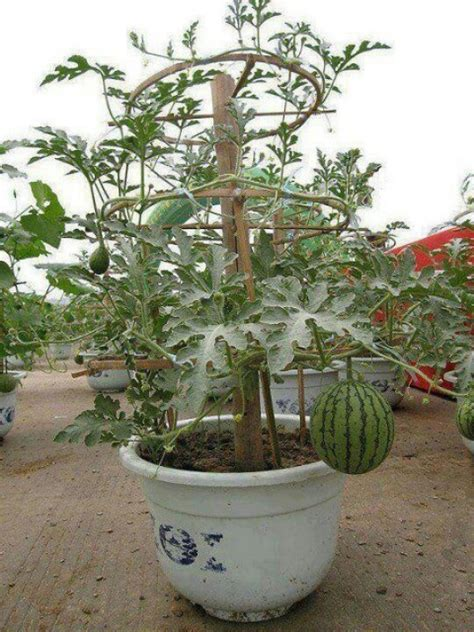 Grow Watermelon In A Container  Easy Grow Pinterest