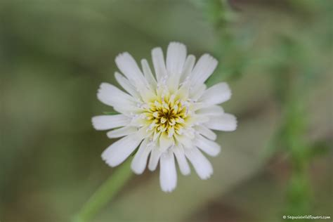 common california flowers sequoia wildflowers