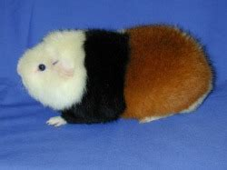 guinea pig breed guide guinea pigs planet