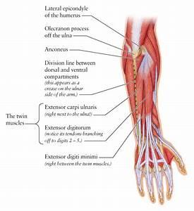 Human Anatomy For The Artist  The Dorsal Forearm  Part 2