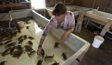 Why are La.'s soft-shell crabs in decline? - News - Houma ...