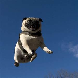 flying pug « What No Mints?