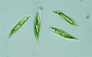 Protist Images  Euglena Tripteris