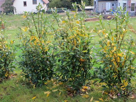 Kirschlorbeer Krankheiten Gelbe Blätter by Kirschlorbeer Herbergii Bekommt Gelbe Bl 228 Tter Was Kann