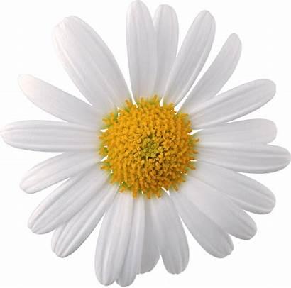 Daisy Flower Transparent Clipart Daisies Simple Webstockreview