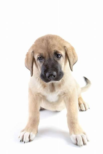 Mastiff Spanish Puppies Puppy Dogs Breeders Pup