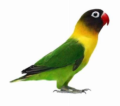 Burung Gambar Lovebird Bird Parrot Sketsa Birds