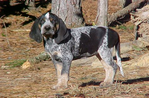 coonhound shedding bluetick coonhound