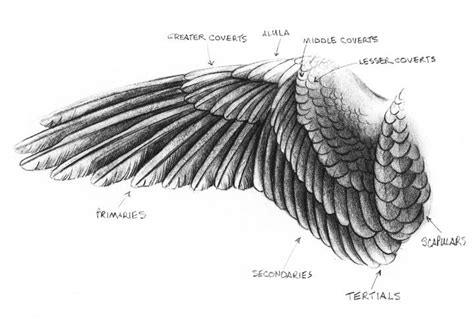 17 best images about wing 17 best images about wing anatomy on feathers