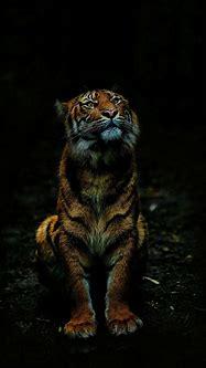 Tiger in Dark iPhone Wallpaper - iPhone Wallpapers ...