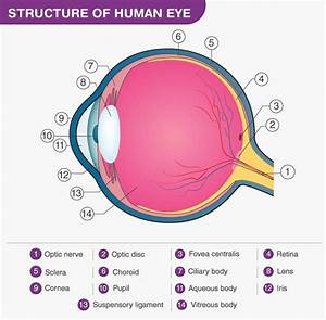 What Is The Structure And Function Of The Human Eye