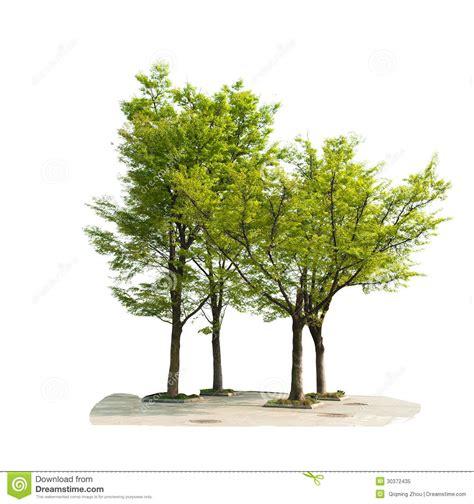 tree isolated  white background royalty  stock photo