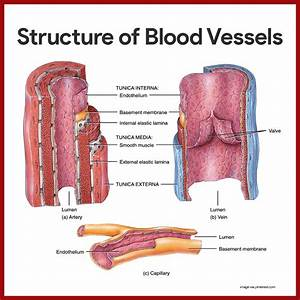 Cardiovascular System Anatomy And Physiology  With Images