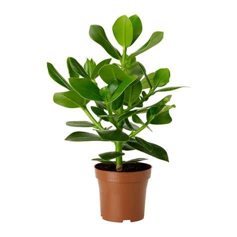 clusia potted plant 12 cm ikea