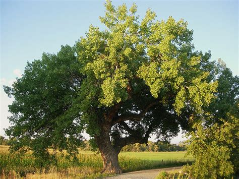 Kansas State Tree  Cottonwood Tree. What Is Your Ideal Career Template. Rustic Vintage Wedding Invitations Template. Free Bootstrap Templates Responsive. Resignation Letter Sample Word Template. Free Proposal Template. Science Fair Poster Designs Template. Resume Template For High School Students With No Template. Printable One Page 2018 Calendar Template