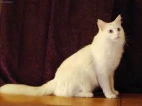turkish cat turkish angora cats animals wiki pictures