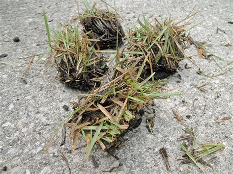 Directions For Planting Zoysia Plugs