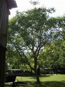 Walnussbaum Selber Pflanzen : walnussbaum pflanzen was beachten haus garten forum ~ Michelbontemps.com Haus und Dekorationen