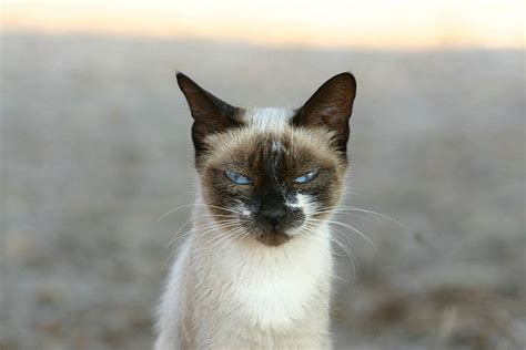 Why Are Siamese Cats Crosseyed?  A Moment Of Science