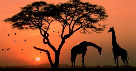 giraffe  africa  ultra hd wallpaper high quality walls