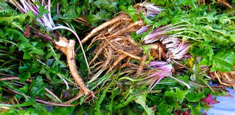 what are rhizomes what s the difference between a root and a rhizome and where do bulbs and tubers fit in herb